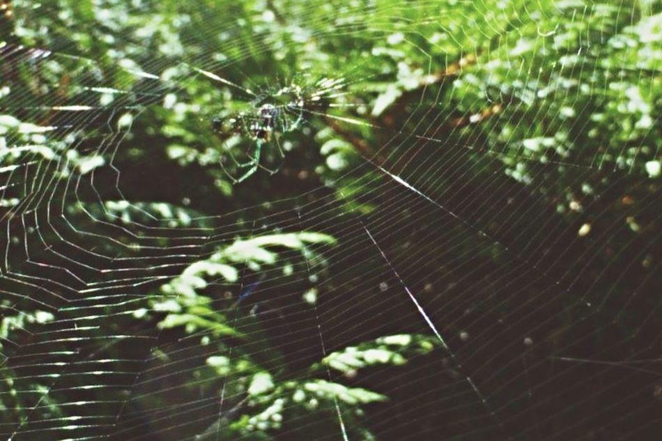 Wildlife & Nature Macro Nature My Backyard EyeEm Nature Lover Spider Spiderweb Arachnipocalypse Arachni-therapy Arachnid Spider Web