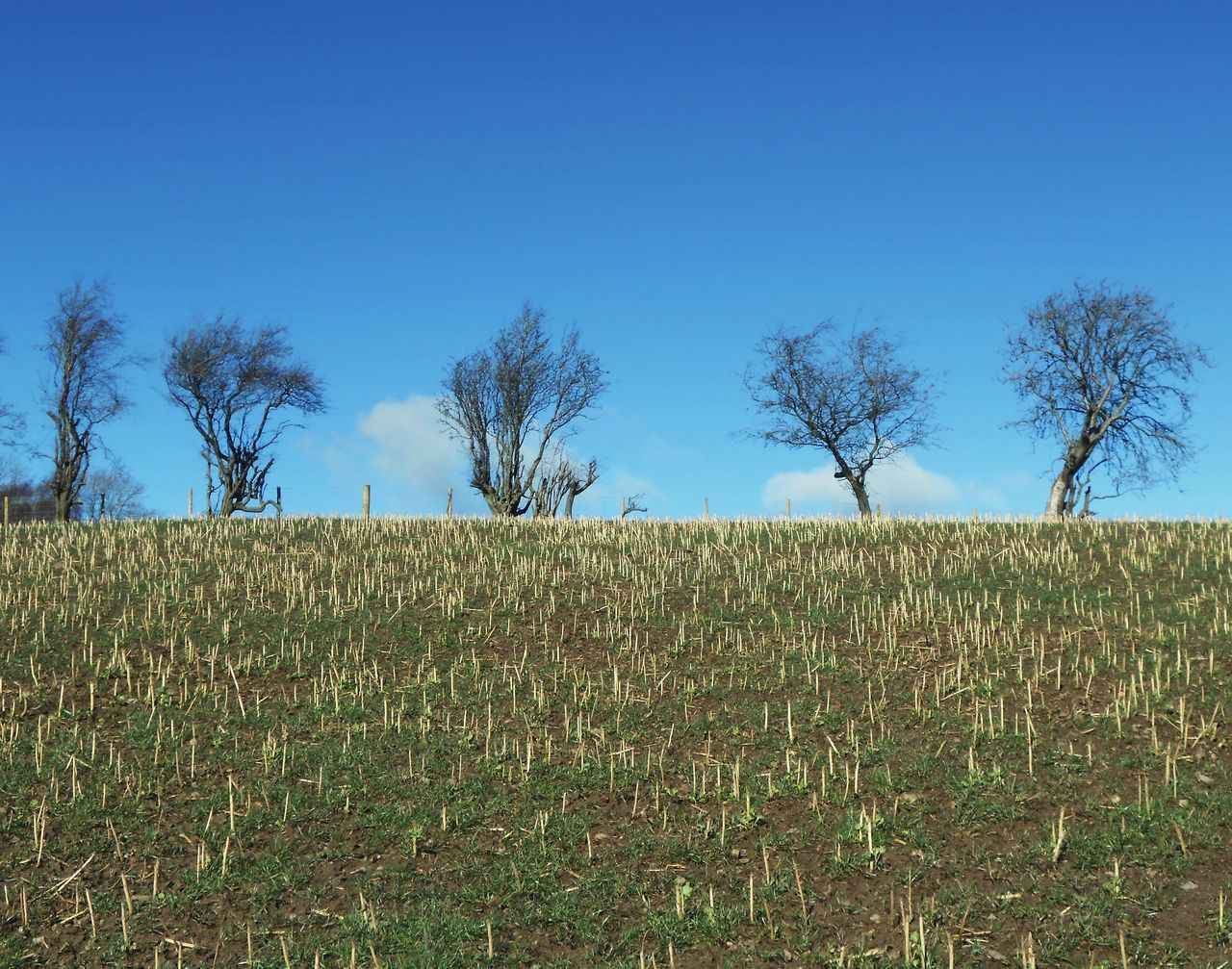... alined ... Agriculture Rural Scene Blue Sky Field Plant Tree Landscape Scenics Outdoors Trees Order Countryside Rural Winter Clear Sky Growth Wales Powys поле деревья зима Pattern Human Activity