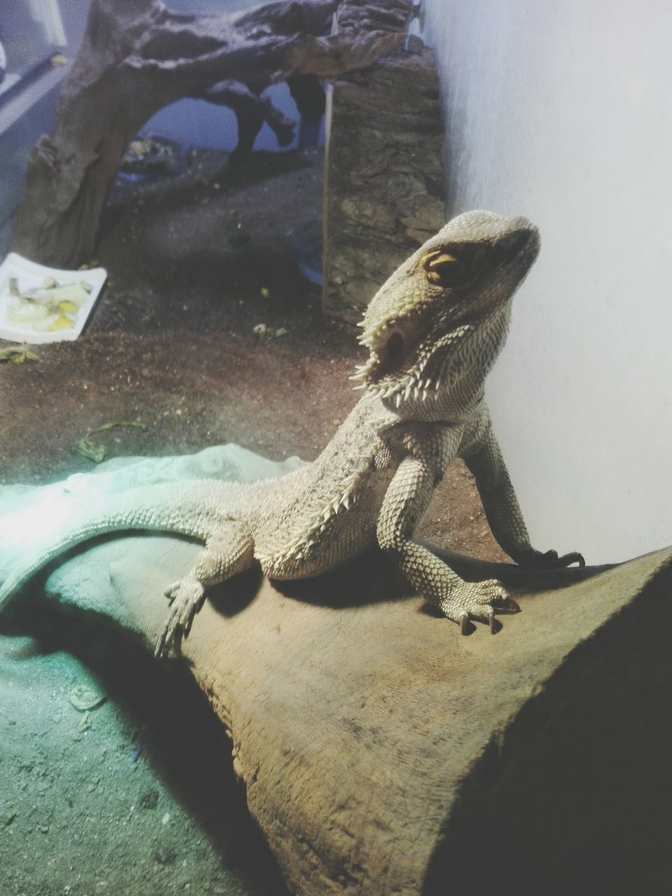 reptile, animal themes, one animal, animals in the wild, lizard, bearded dragon, animal wildlife, no people, day, nature, close-up, indoors, iguana