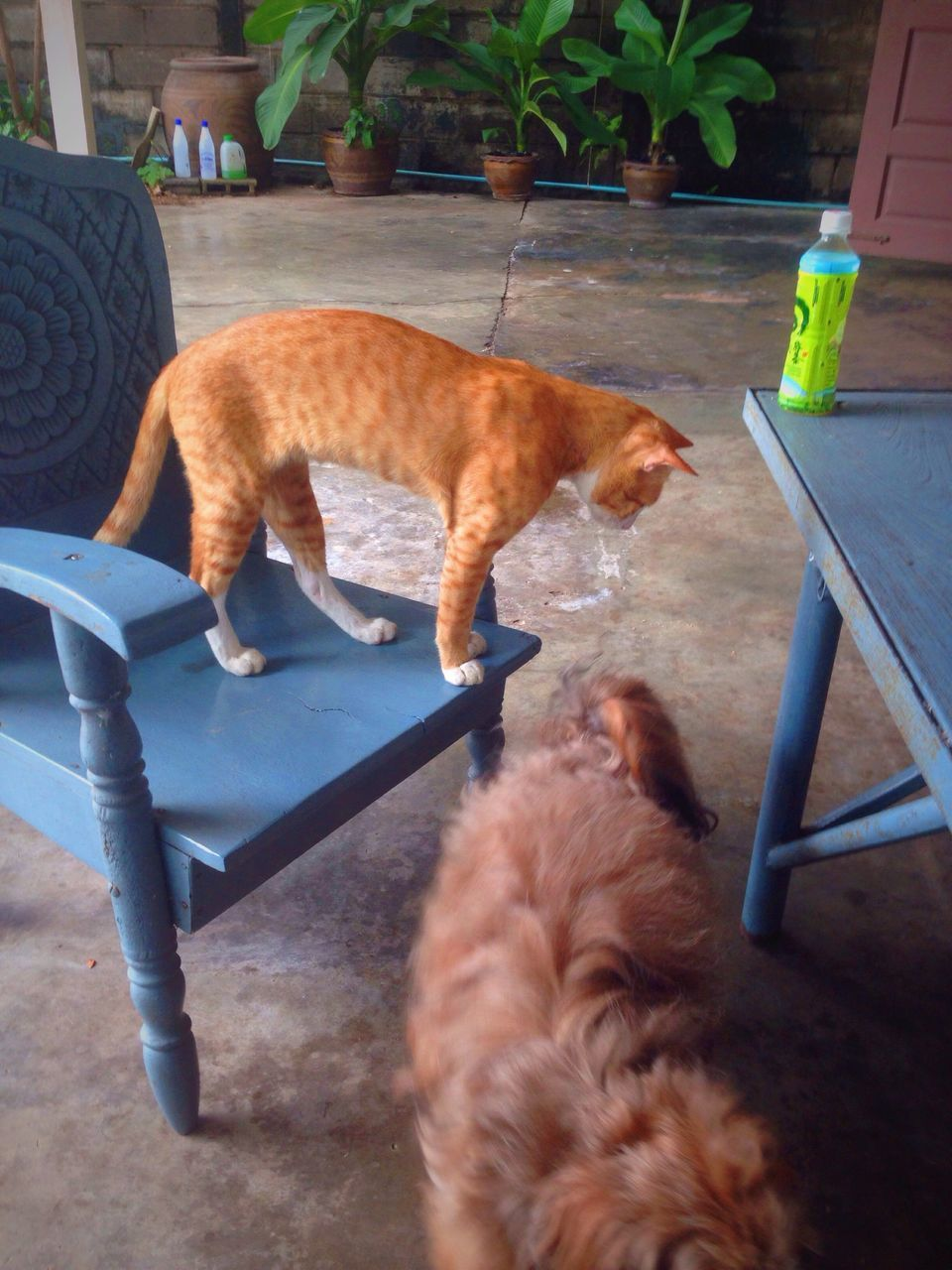 domestic animals, pets, mammal, animal themes, domestic cat, one animal, feline, dog, no people, ginger cat, day, indoors