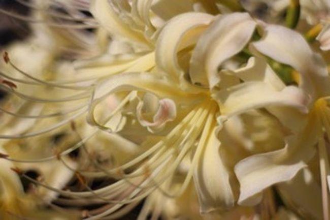 彼岸花 曼珠沙華 花 ものおもい Flower 彼岸の入り。彼女にあいに行く前に見つけた白い彼岸花。
