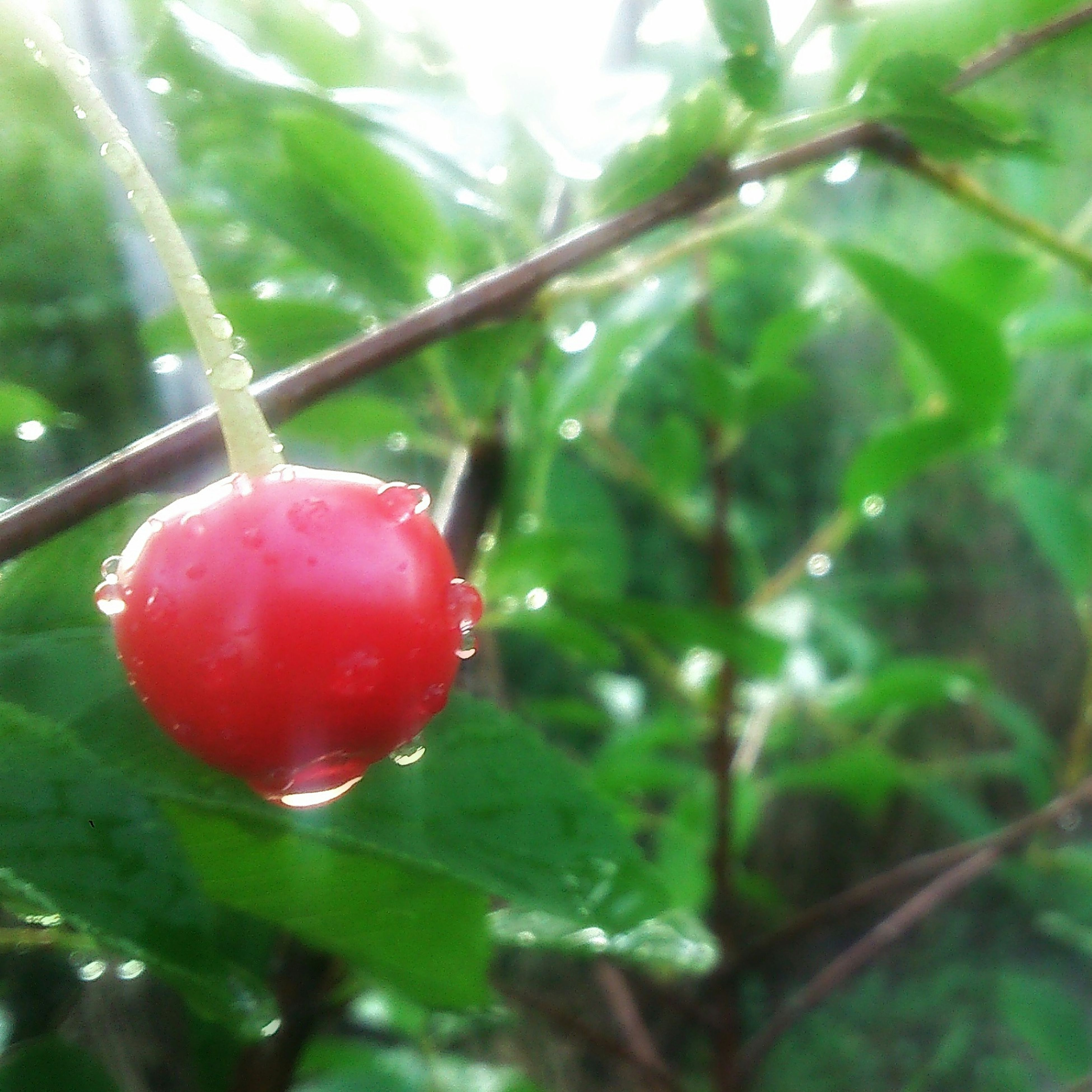 drop, fruit, freshness, red, close-up, water, leaf, wet, focus on foreground, growth, food and drink, nature, tree, green color, branch, dew, hanging, berry fruit, plant, food