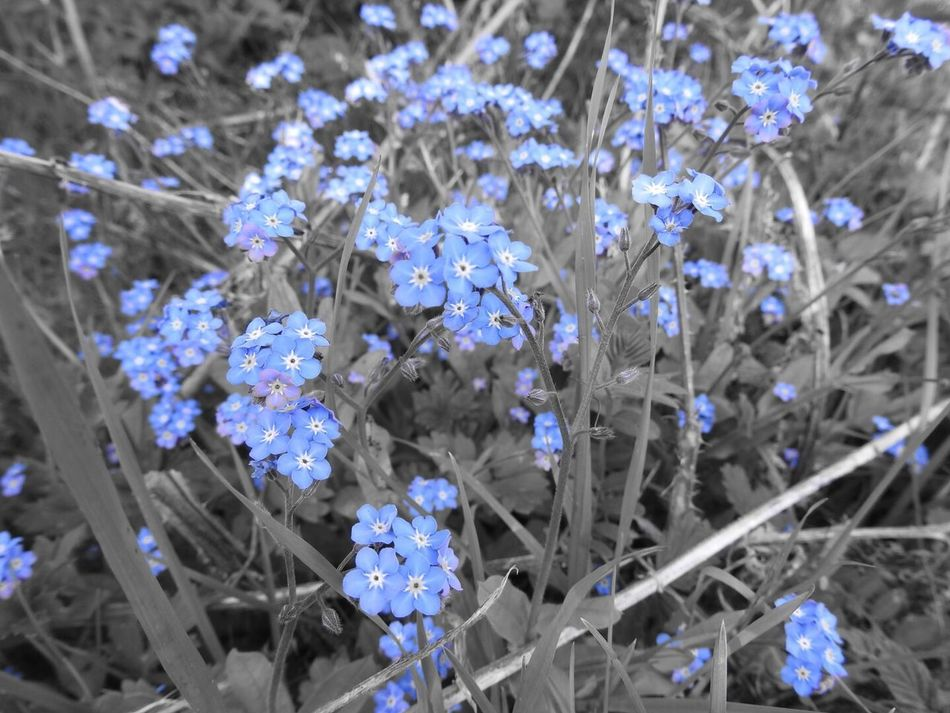 Flower Fragility No People Purple Beauty In Nature Growth Nature Petal Freshness Day Outdoors Close-up Flower Head Forget Me Not