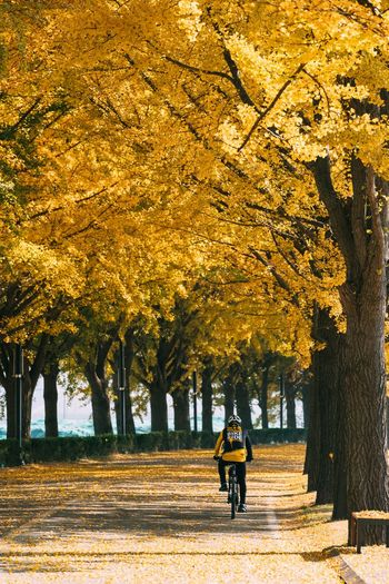 ASIA Autumn Autumn Colors Beautiful Beautiful Nature Bicycle Trip Cool Ginkgo Korea Landscape_Collection Rider View Walk Background Background Photography Bicycle Ginkgo Leaf Hobby Landscape Maple Maple Leaf Park Scenery Yellow Yellow Color