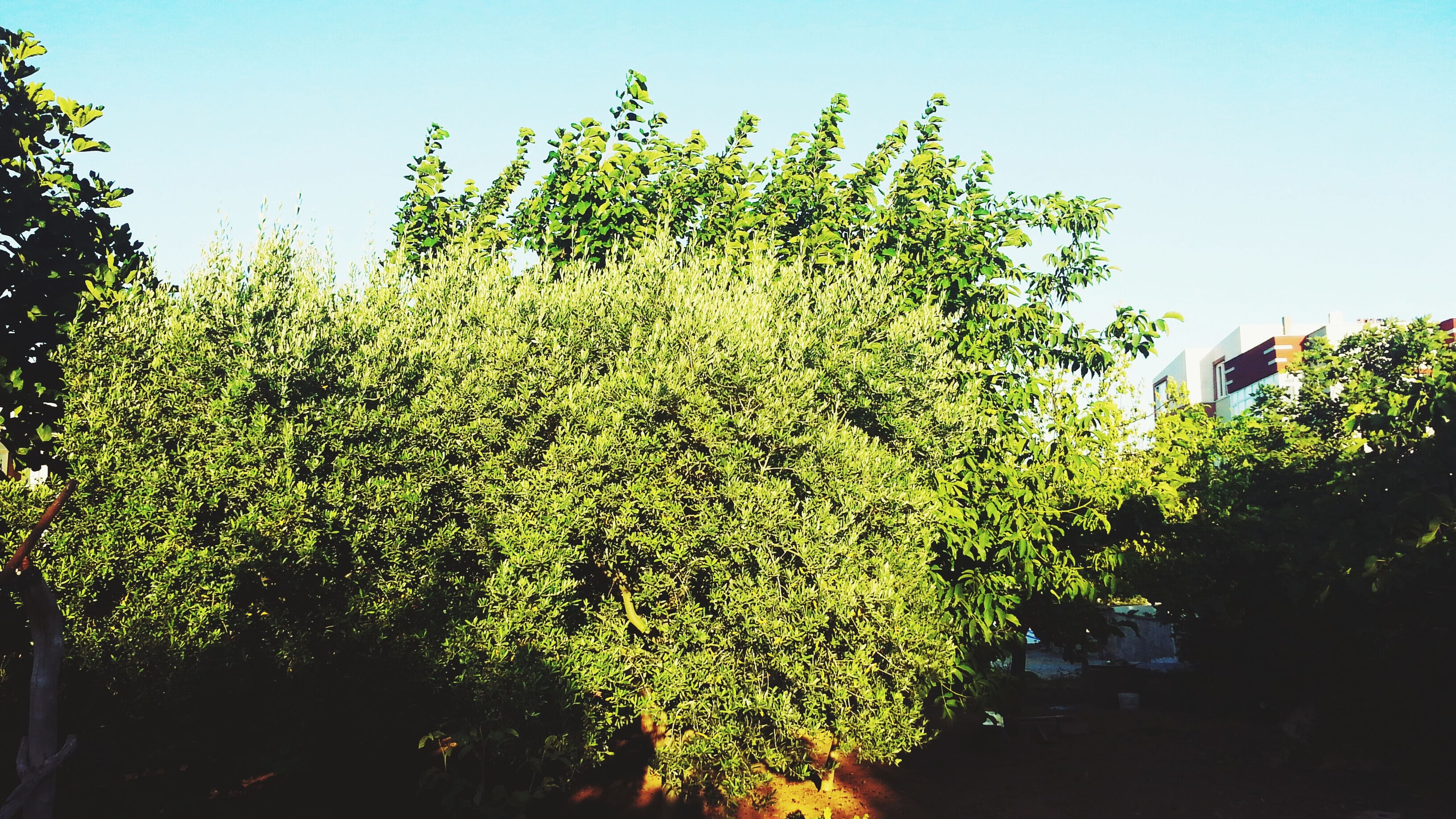 growth, clear sky, tree, freshness, flower, nature, beauty in nature, plant, green color, sunlight, growing, leaf, low angle view, sky, day, tranquility, fragility, blue, no people, outdoors