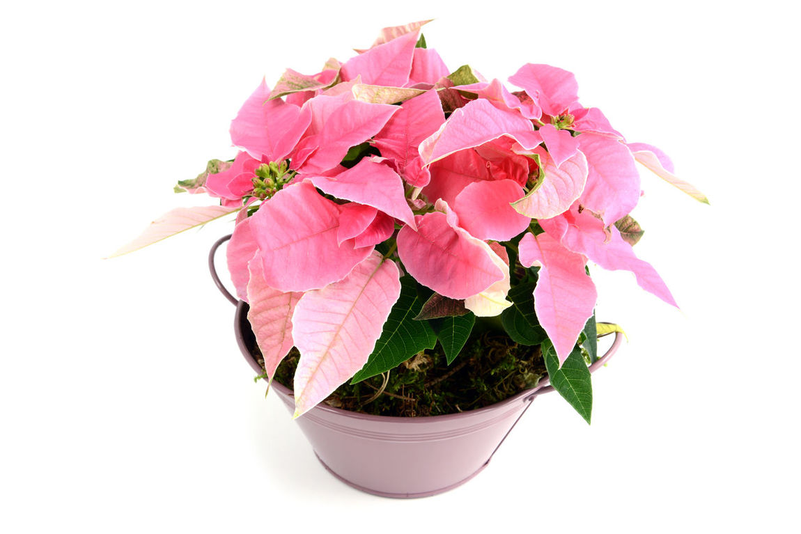 pink poinsettia in flowerpot. white isolated background Pink Flower Pink Color Poinsettia Poinsettia Plants Poinsettias Flower Flowerpot Isolated Isolation Isolated White Background White Background