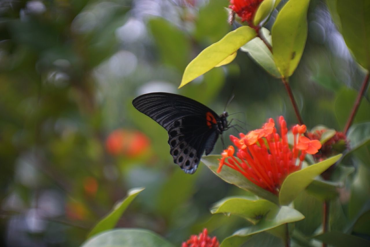 animals in the wild, one animal, insect, animal themes, butterfly - insect, flower, animal wildlife, freshness, beauty in nature, nature, fragility, pollination, no people, outdoors, growth, day, plant, petal, spread wings, close-up, flower head