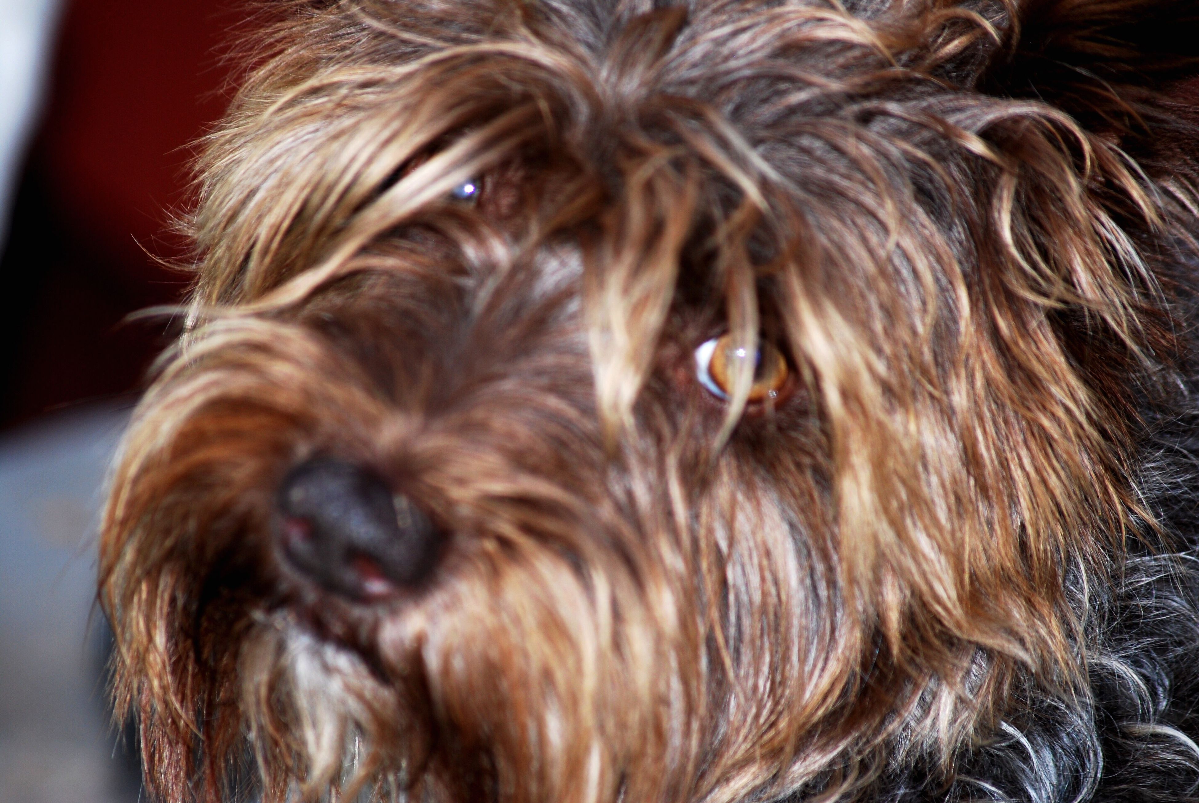 one animal, dog, domestic animals, animal themes, pets, close-up, animal hair, animal head, brown, mammal, yorkshire terrier, focus on foreground, looking at camera, hairy, terrier, no people, zoology, looking