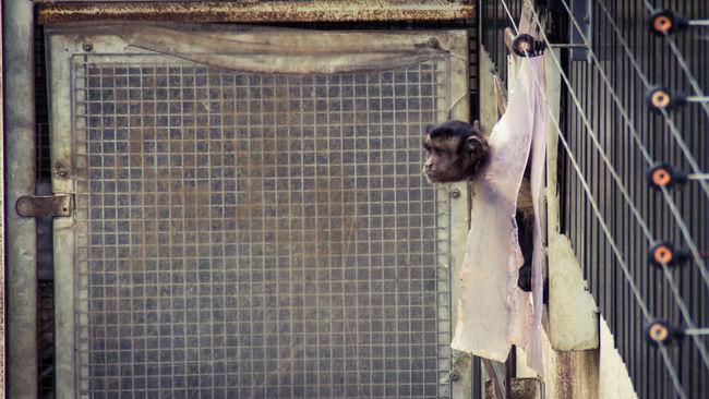 Animal Animals Capuchin Monkey Day Edinburgh Edinburgh Zoo Enclousure Gate HEAD Monkey Nature No People Outdoors Peeking Playful Primate Scotland Wildlife Zoo
