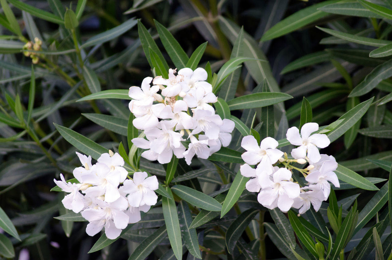Flor blanca 2015  Beauty In Nature Close-up Day Eddl Flower Flower Head Fragility Freshness Growth Nature No People Outdoors Petal Plant White Color Zaragoza