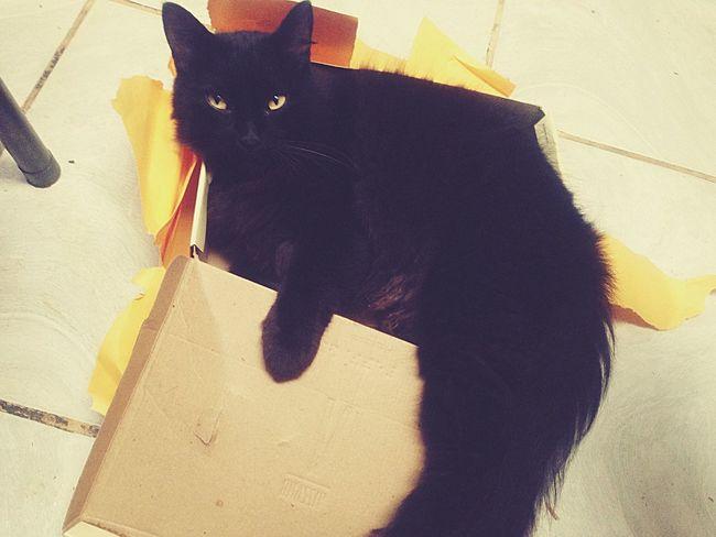 Cotia São Paulo Cat Box Sapato  My Black