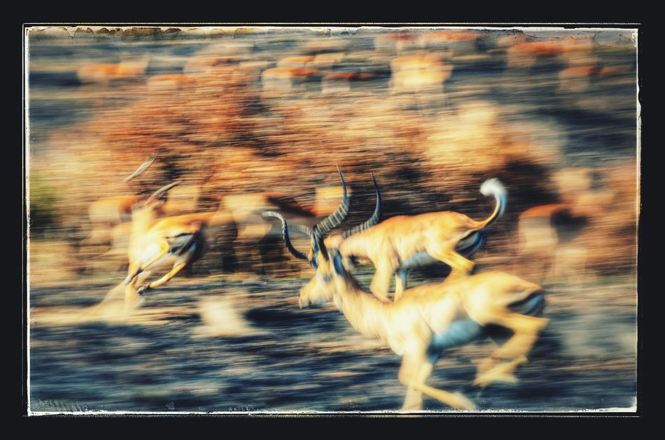 Animal Themes Nature Animal Fight Animal Fighting Gazelle Animals In The Wild Africa