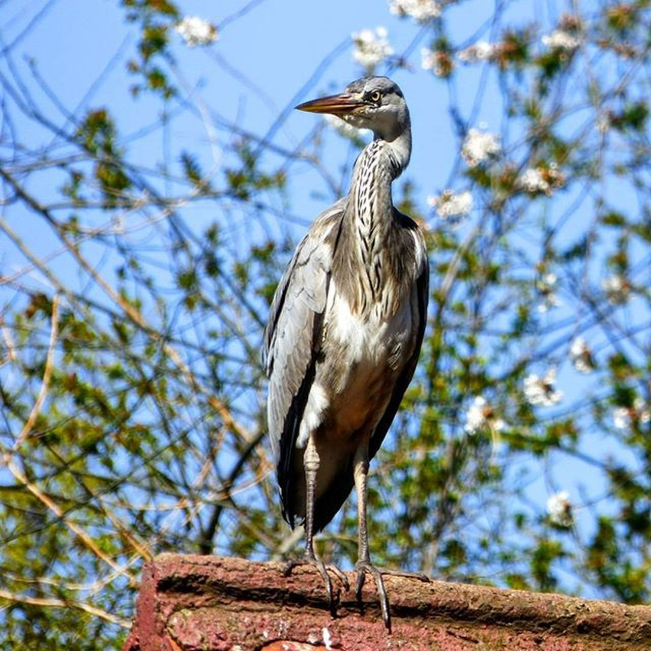 Keeping watch over Stjamespark , London yesterday Heron Nature Photography Uknaturecollective Nature Wild Followme Ig_birdlovers Urbanwildlife Ig_birdwatchers Nuts_about_birds Kings_birds Wildlife Nature England Rsa_nature Ukwildlifeimages Springwatch Lumix Naturehippys