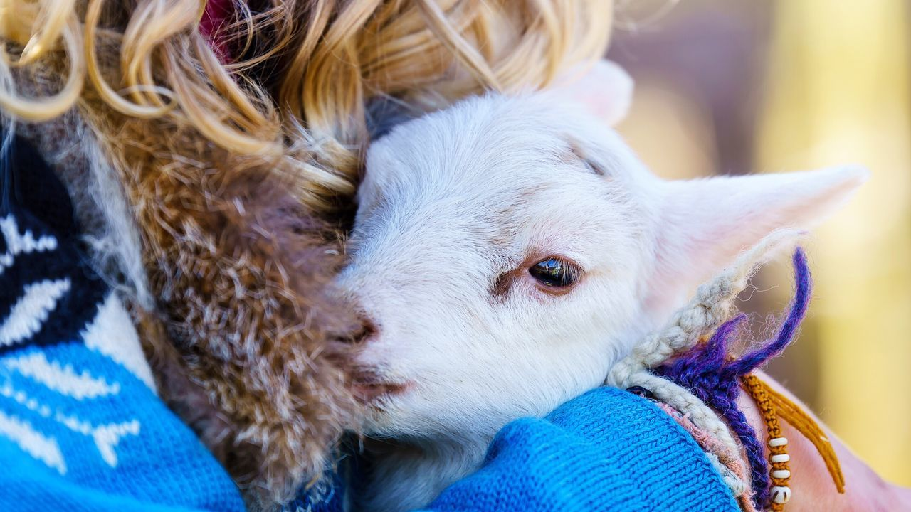 Easter Ready Lamb Sheep Animals Easter Lamb White Love Photooftheday Eye4photography  Tiere Lamm Osterlamm Schafe