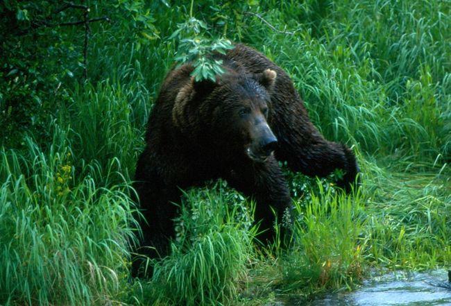 Brooks Falls Katmai National Park Katmai Grizzly Bear Bears Galore Alaska Brooks River Brooks Falls