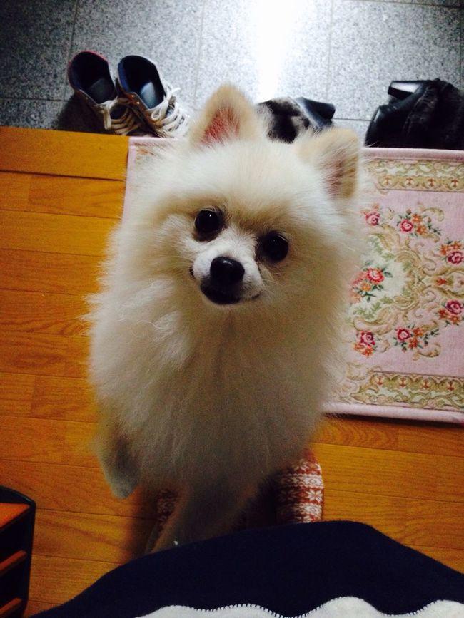 I Love My Dog Pomeranian Dog Korosuke