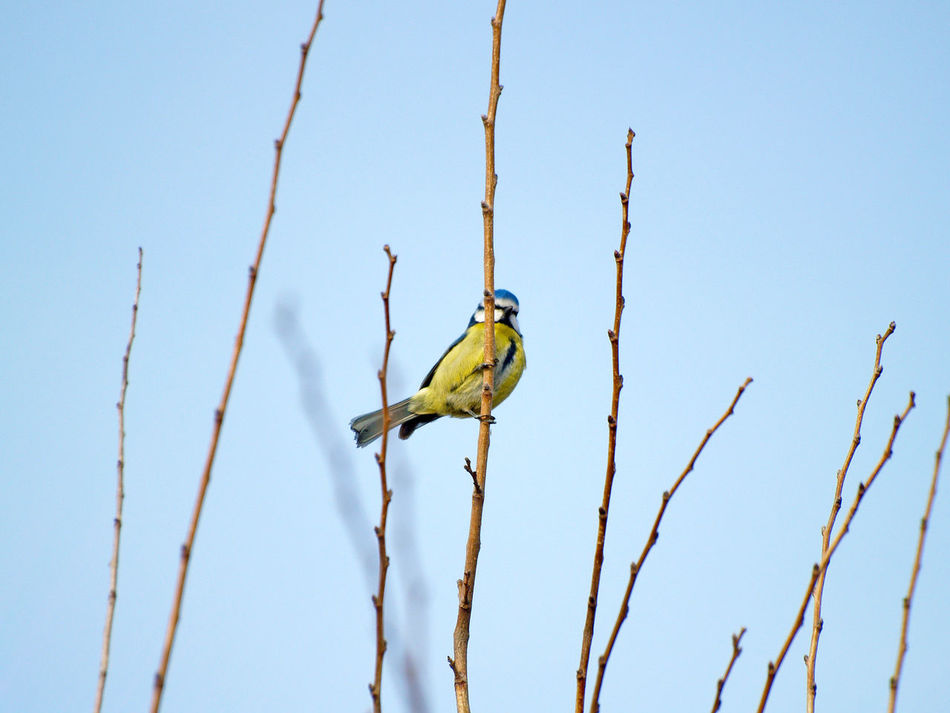 Animal Themes Animal Wildlife Animals In The Wild Beauty In Nature Bird Birds Blue Tit Branch Clear Sky Cyanistes Cyanistes Caeruleus Day Low Angle View Nature No People One Animal Outdoors Parrot Perching Perching Bird Sky Tit Tree Wildlife