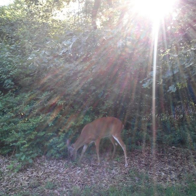 The deer were out everywhere last Wednesday at JeffersonBarracks on the walking trail. This one was right on the trail having a snack!
