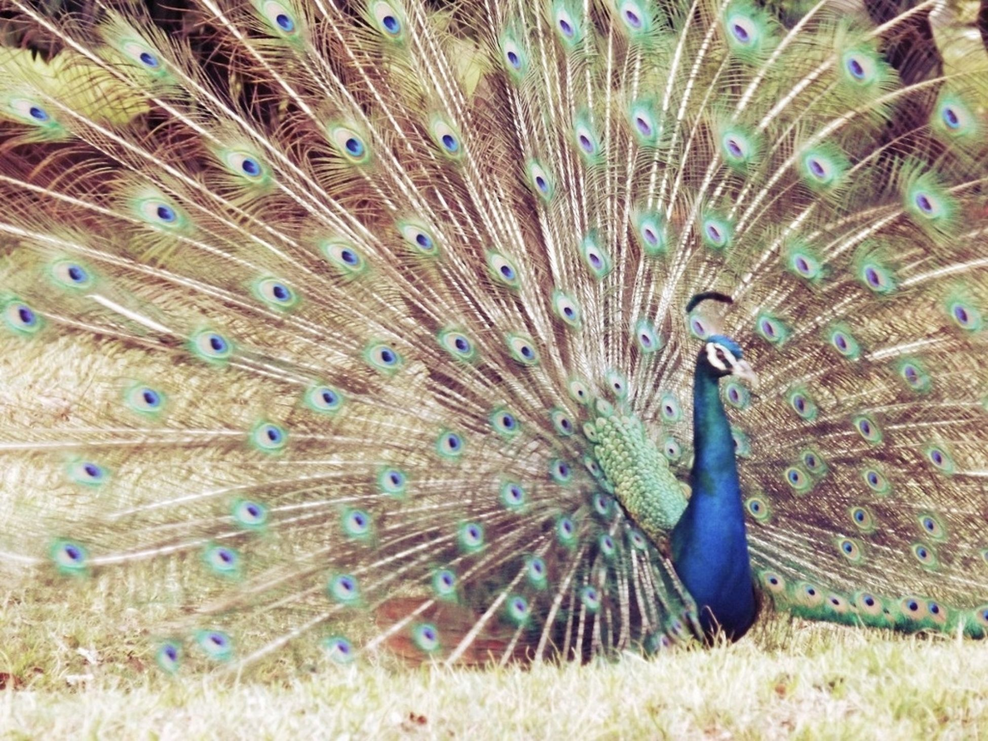 one animal, animal themes, peacock, feather, no people, wildlife, animals in the wild, day, male animal, bird, close-up, full frame, zoology, captivity, close up, geometry, zoology, elegance, simplicity, design, art and craft