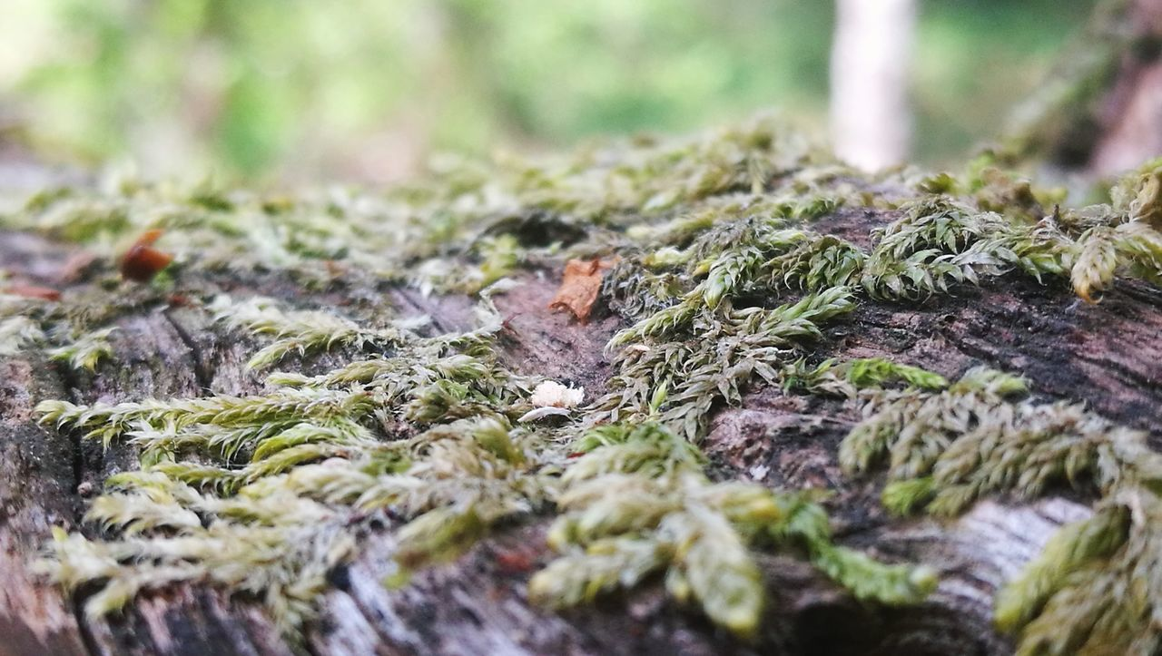selective focus, moss, nature, close-up, lichen, no people, day, outdoors, textured, growth, fungus, beauty in nature