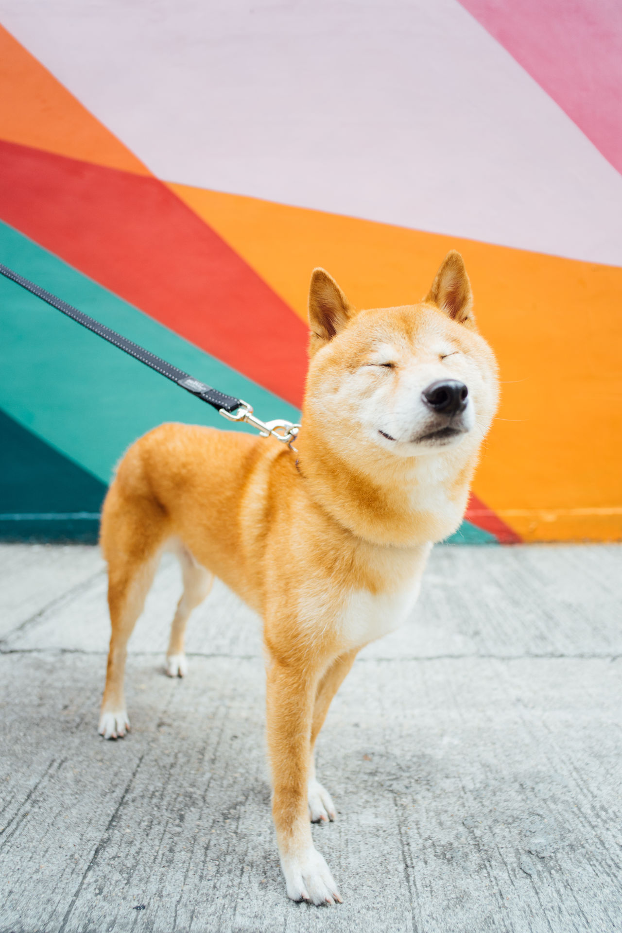 Animal Themes Close-up Day Dog Doglover Dogs Domestic Animals Mammal No People One Animal Outdoors Pets Portrait Shiba Shibastagram