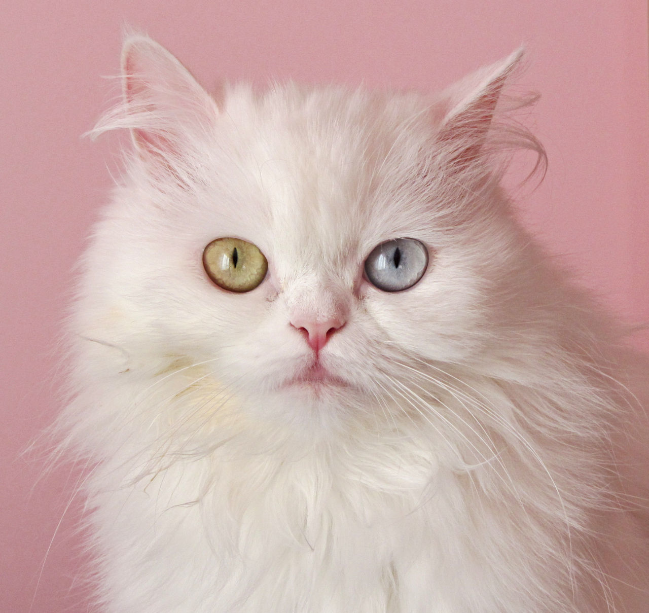 Animal Eye Animal Themes Calm Cat Cats Catsagram Close-up Curiosity Domestic Cat Feline Happy Home Love ♥ One Animal Pets Pink Soft Softness Whisker Market Bestsellers May 2016 Bestsellers