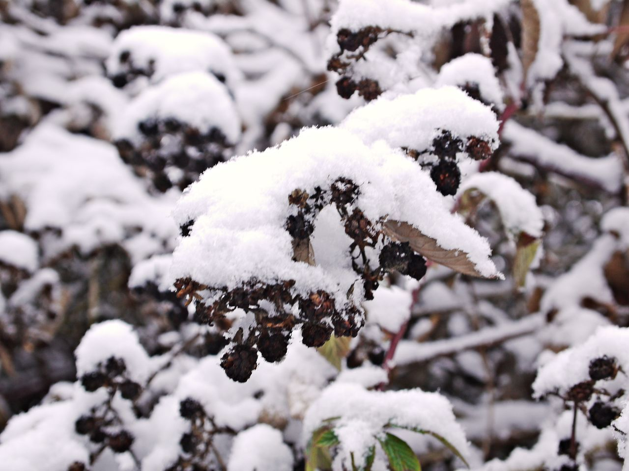 Beauty In Nature Blackberries Close-up Cold Temperature Day Dry Fruits Focus On Foreground Frozen Frozen Fruits Nature No People Outdoors Snow Weather White Color Winter