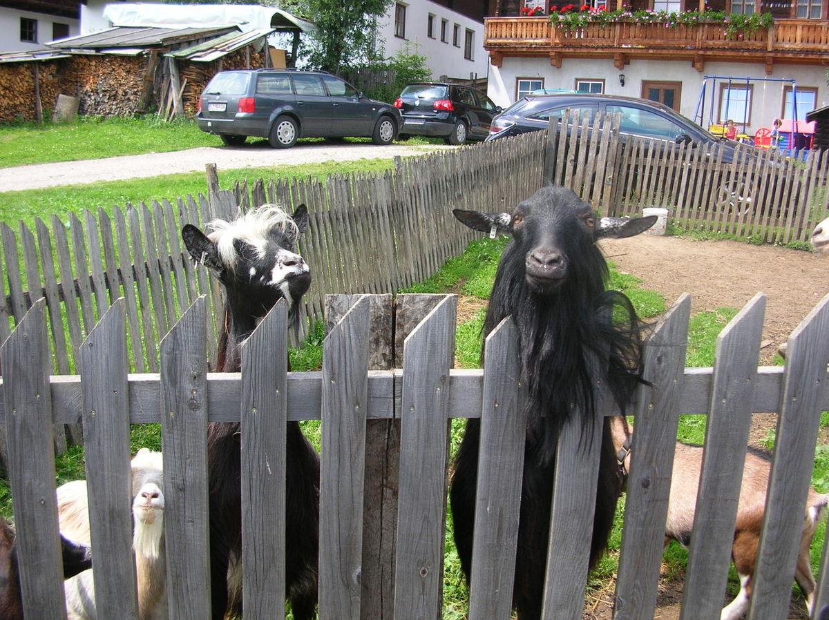 Obertillach, Austria, giugno 2007 Animal Themes Day Goat Mountain No People Outdoors Village