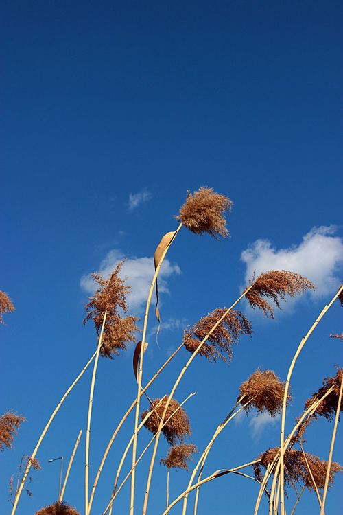 파란 하늘의 양재천 하늘 갈대 Blue Sky Day Reeds At The Lake Reeds Seoul Korea Canon Beautifulday