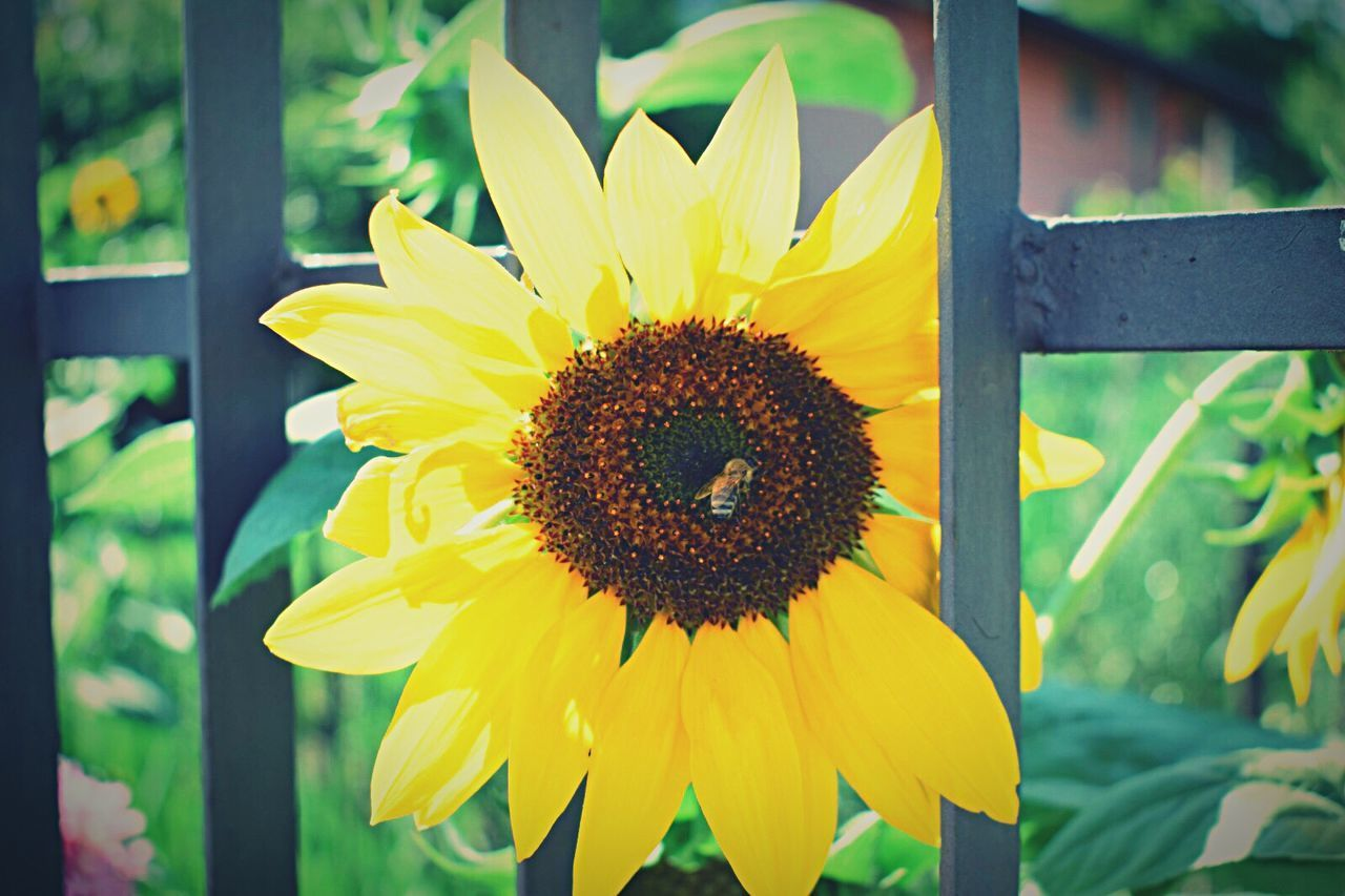 flower, petal, fragility, freshness, yellow, growth, nature, flower head, beauty in nature, plant, outdoors, pollen, no people, blooming, close-up, day, sunflower, bee