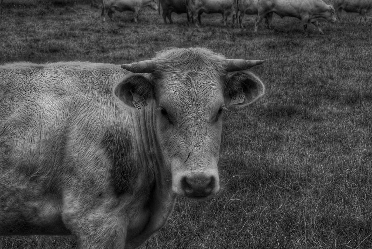 Cow Yearling Bull Animal Portrait Animal Animal_collection Animal Photography Blackandwhite Photography Blackandwhite
