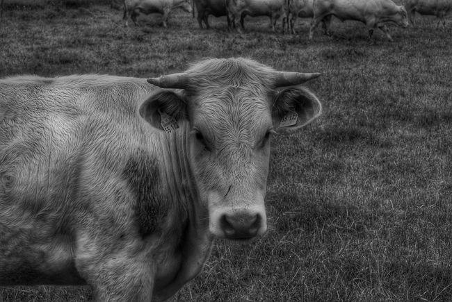 Cow Yearling Bull Animal Portrait Animal Animal_collection Animal Photography Blackandwhite Photography Blackandwhite