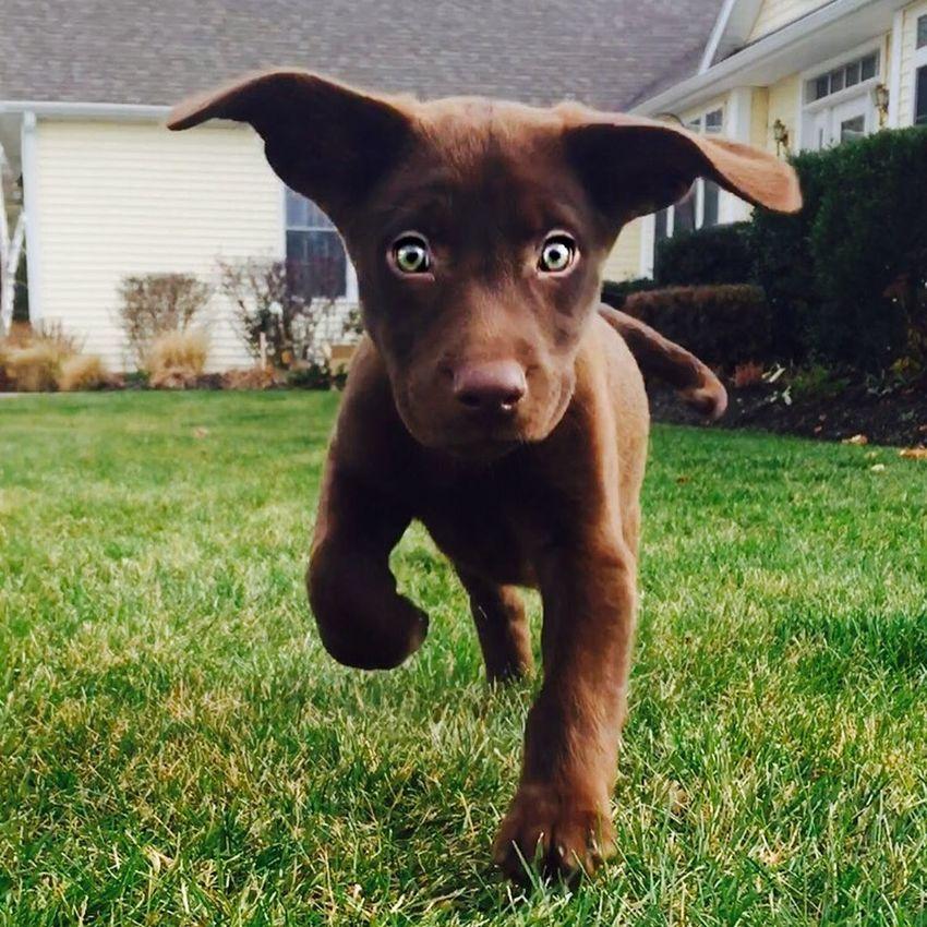 My baby Aspen! Puppy Puppy Eyes Chocolatelab Chocolate Labrador