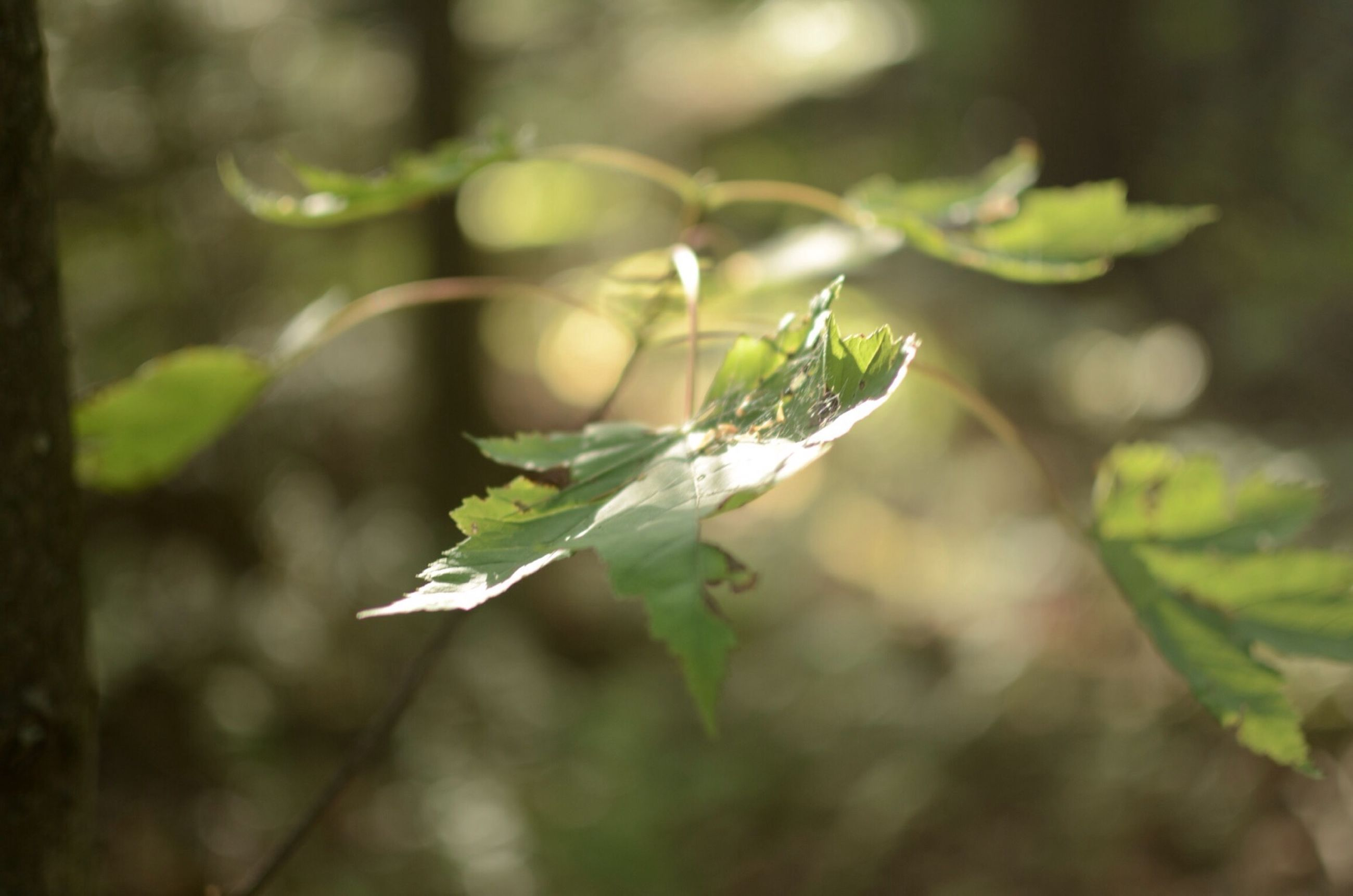 leaf, focus on foreground, growth, close-up, plant, green color, nature, selective focus, stem, growing, leaves, beauty in nature, twig, tranquility, branch, outdoors, day, no people, beginnings, sunlight