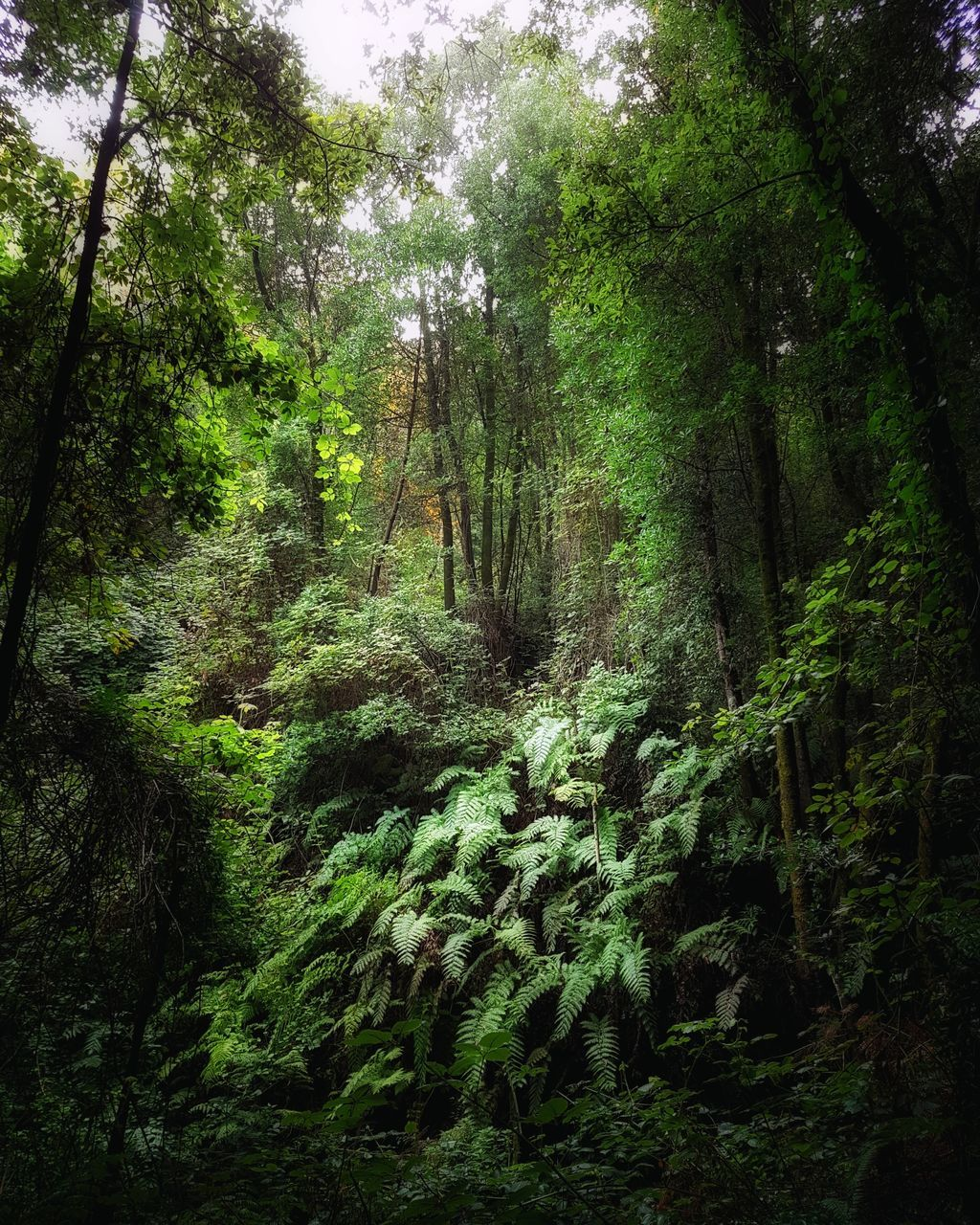 forest, tree, nature, growth, tranquility, lush foliage, tranquil scene, day, beauty in nature, scenics, no people, outdoors