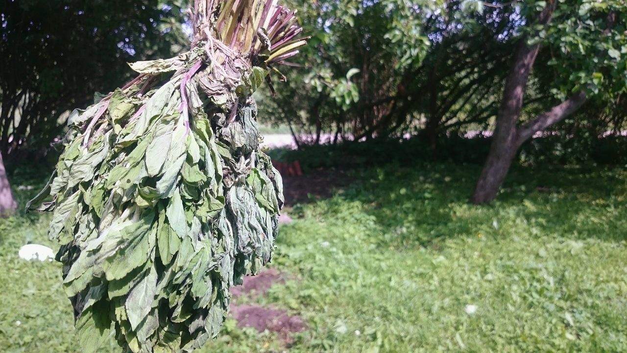 Pepermint Tea Time Tea Leafs Countryside Naturegifts 🌈 Tasty Healthy