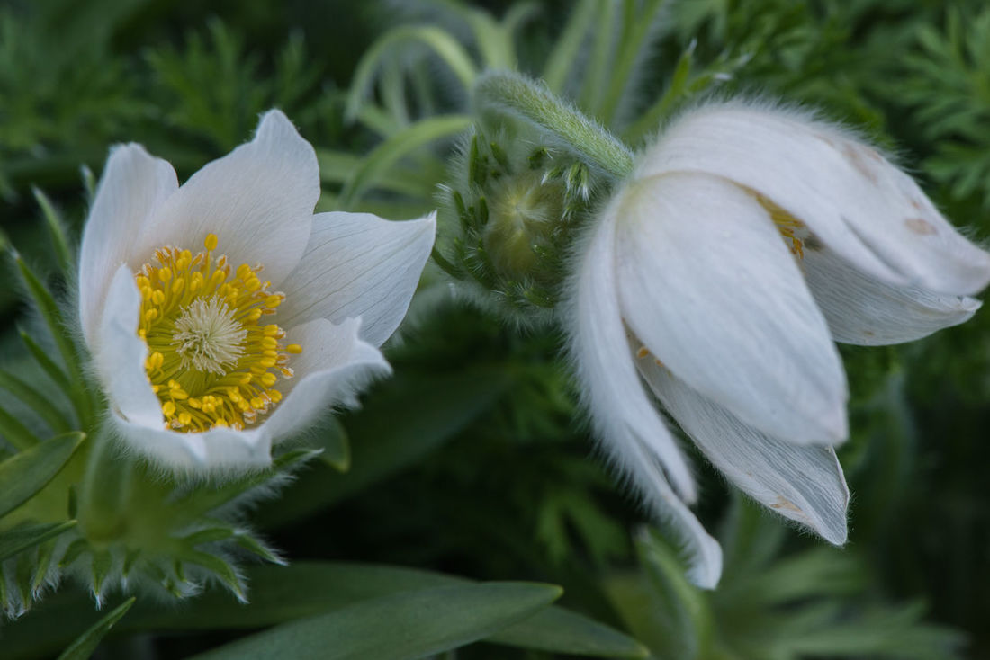 Pulsatilla White Bells Beauty In Nature Bell Flower Blooming Close-up Day Flower Flower Head Fragility Freshness Garden Garden Flowers Garden Photography Growth Hairy  Horticulture Nature No People Outdoors Petal Plant Pulsatilla Stamen White Color White Flower Yellow