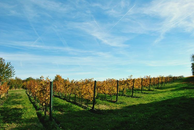 Weinberge Herbst🍁 Sky Vineyard Beauty In Nature Tree No People Field Nature Outdoors Day
