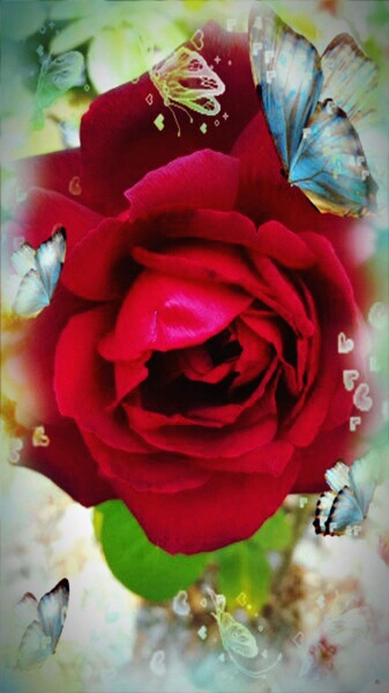 Beautiful Roses🌹 Beautiful Red Rose Love This Picture.