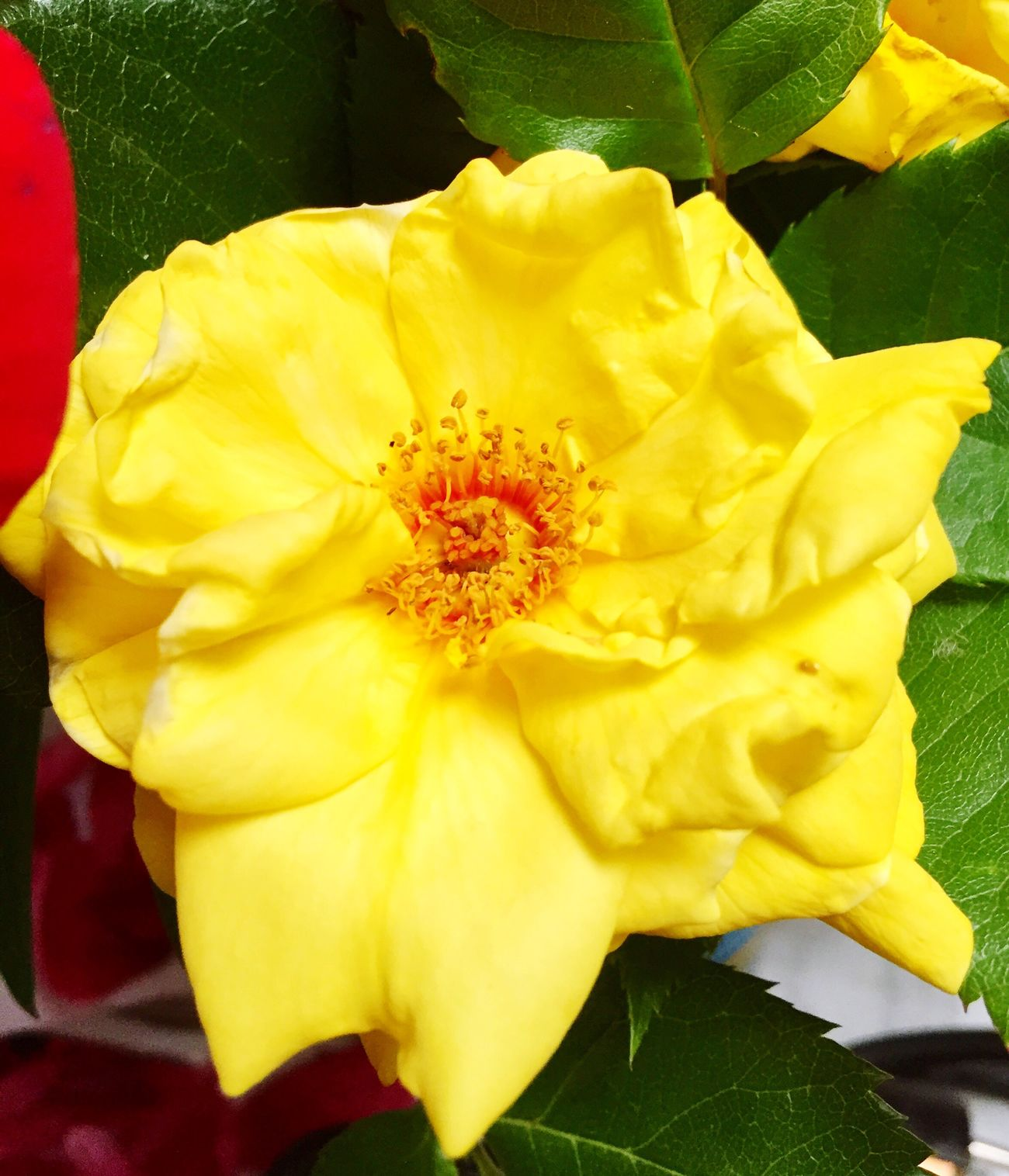 Flower Yellow Petal Fragility Flower Head Freshness Close-up Beauty In Nature No People Nature Day Outdoors Flowers Rosa Yellow Flower Yellow Color Yellow Flowers Yellow Rose Gelb Blumen Rose🌹 цветок  желтый Yellow Roses Roses🌹