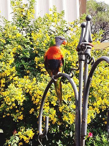 Lorakeet Rainbowlorikeet Lorikeet Bird Lorikeets Backyard Australia Sydney, Australia Beauty Travelphotography Birds Of EyeEm  Birds And Blue Sky EyeEm Nature Lover EyeEm Best Shots - Nature This Week On Eyeem EyeEmNewHere