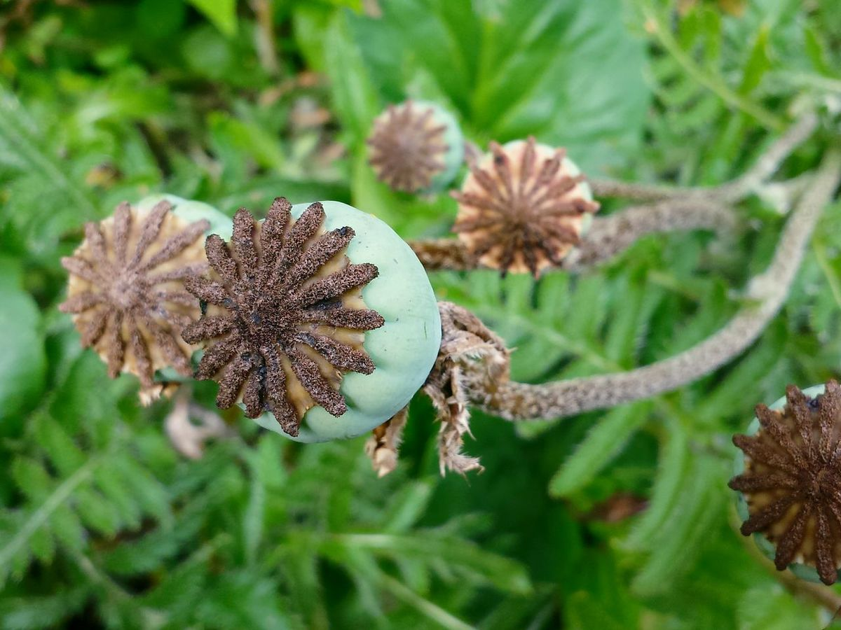 Check This Out Mohn Garden Plants From Above  From An Upper Angle Draufsicht Garden Life Garden Lovers Flower Power My Flower Obsession Connected With Nature Flowers,Plants & Garden Green Nature Green Green Green!  Green Leaves Ladyphotographerofthemonth Flowers, Nature And Beauty Nature On Your Doorstep Power Of Nature Nature Green Background Close-up Close Up Different Greens In The Garden Poppy Seed Head Poppy Capsules