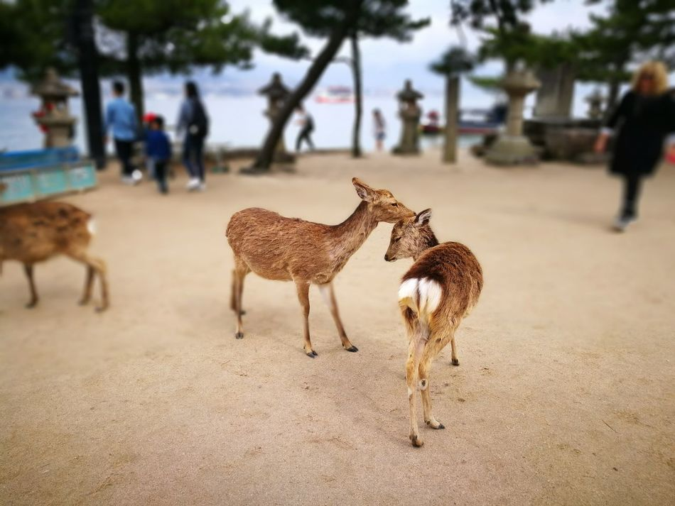 Animal Animal Wildlife Animal Themes Outdoors Deer Animals In The Wild World Heritage Cute Buttock Grooming Deers