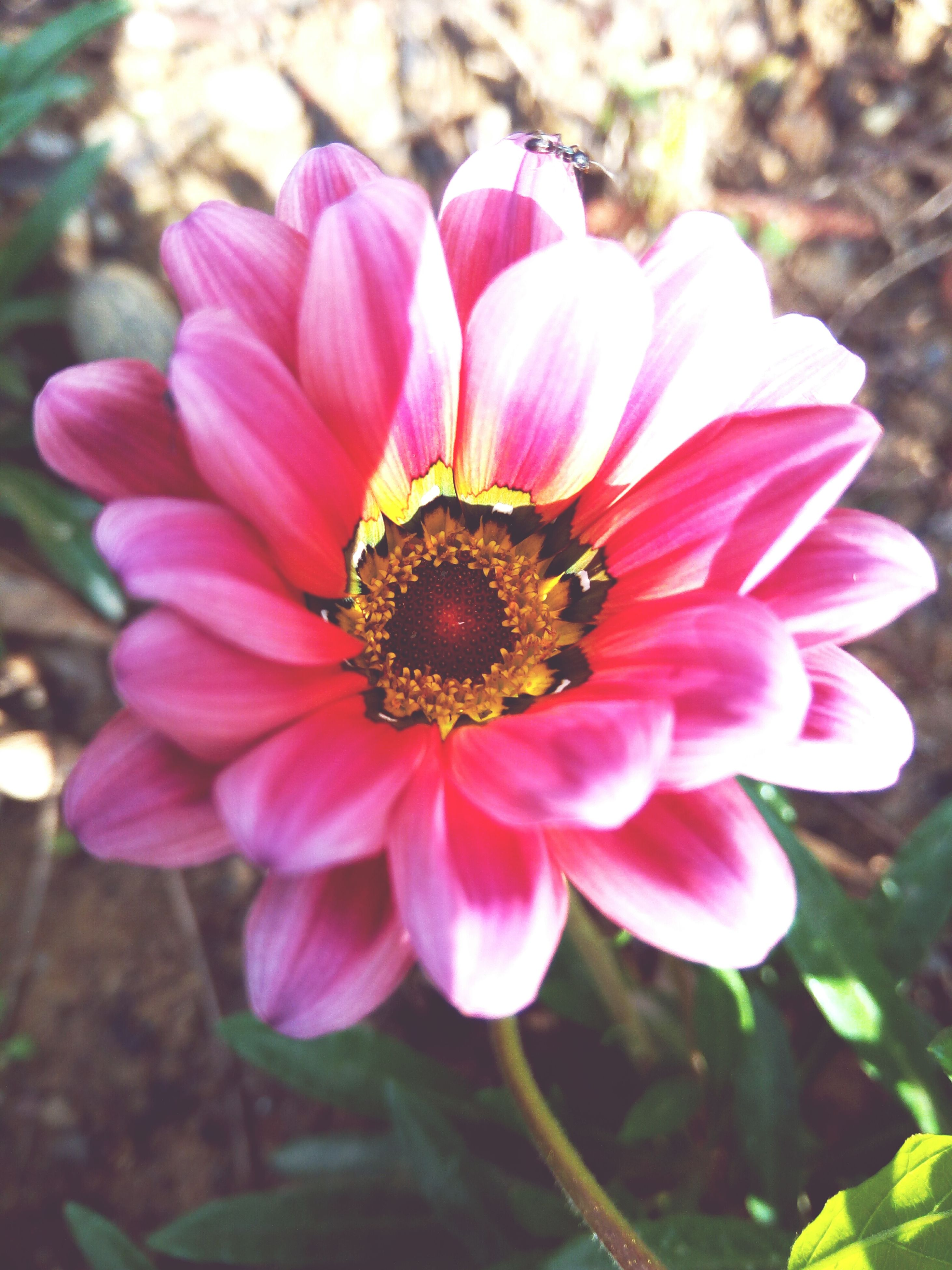 flower, petal, fragility, beauty in nature, nature, freshness, flower head, growth, blooming, pollen, outdoors, day, no people, zinnia, close-up