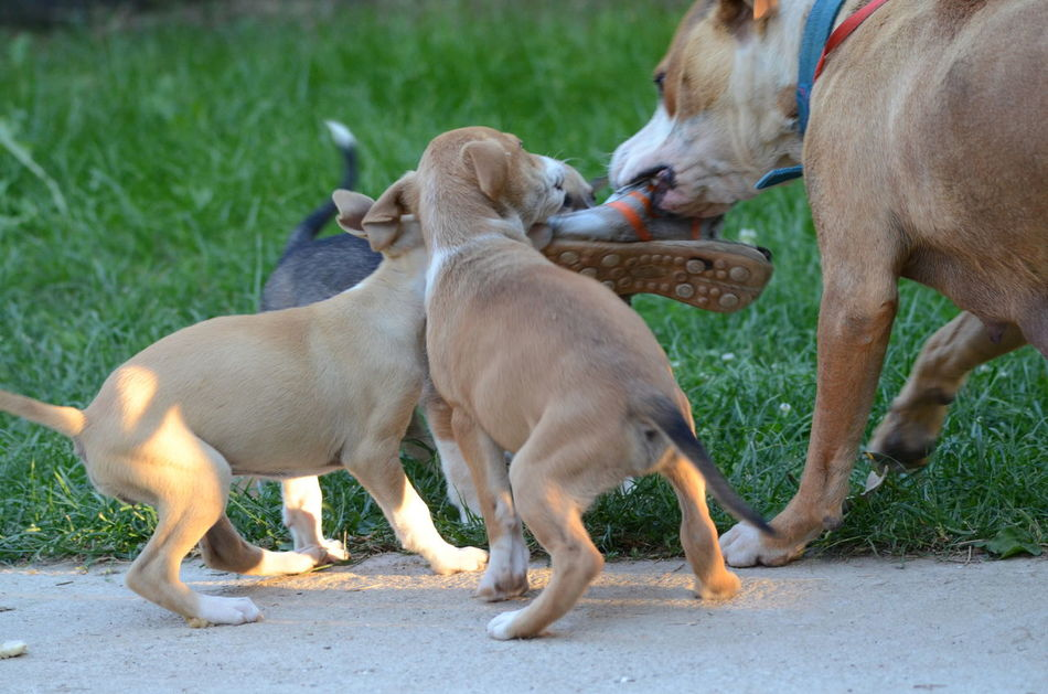 puppies playing with mother Animal Themes Bıtch Cut Cute Day Dog Domestic Animals Mammal Mother No People Old Shoes Outdoors Pets Playful Playing Puppy Shoe Sneakers