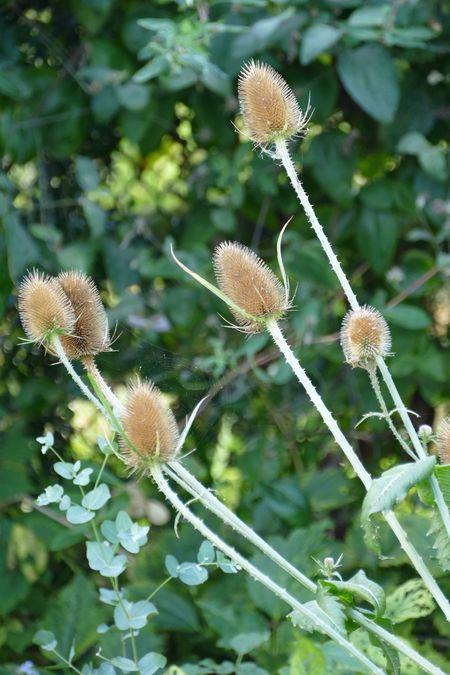 Teasle Teasles Beauty In Nature Beauty In Nature Natures Diversities Nature On Your Doorstep Flowers,Plants & Garden