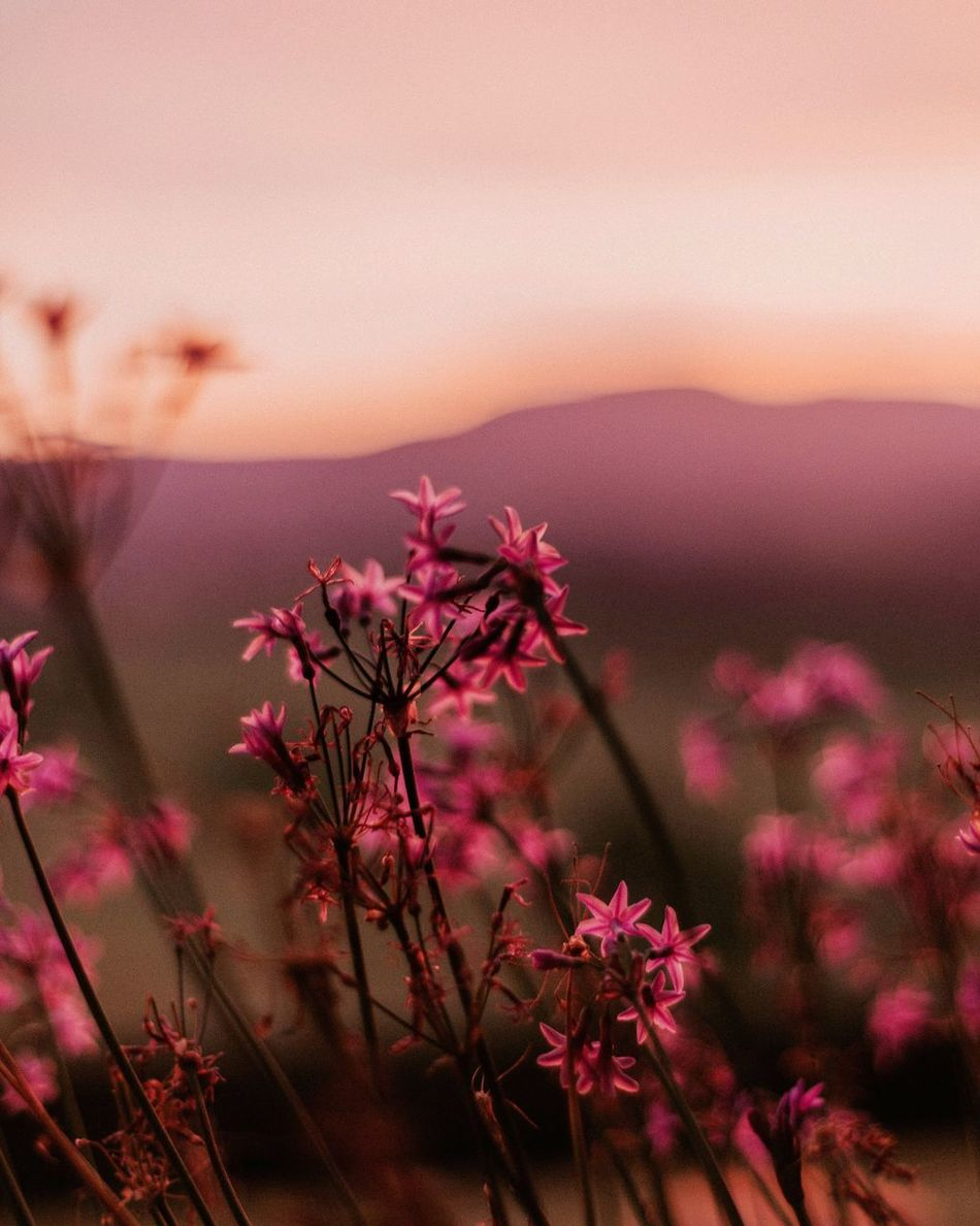 Sunset and the flowers Flower Sunset Nature Beauty In Nature Growth Close-up Outdoors Mountain Purple Flower Head Fragility Freshness Sunset_collection Blue Mountains Australia EyeEm Gallery EyeEm Best Edits The Week On EyeEm EyeEmBestPics Finding New Frontiers Tranquil Scene Golden Hour Farm Life Countryside Millennial Pink