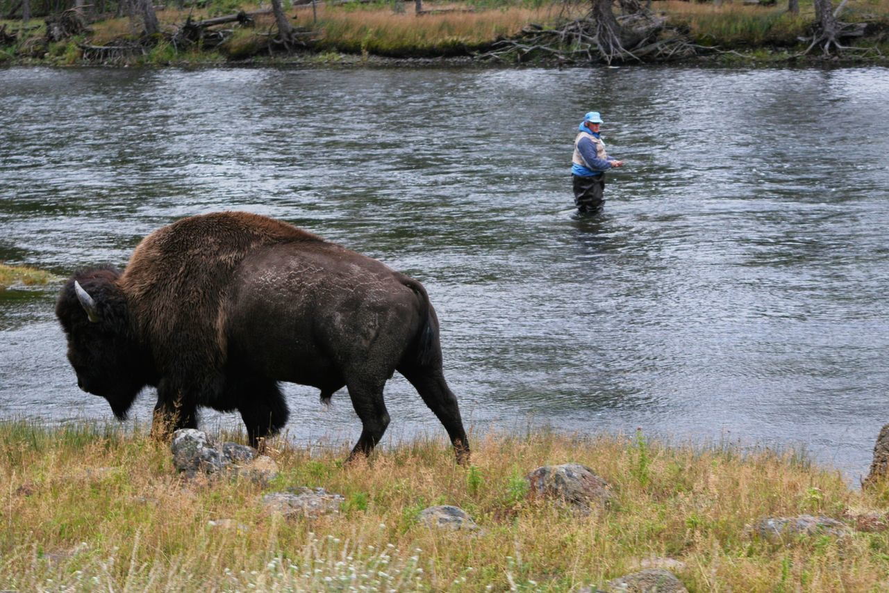 Fisherman's Suprise Yellowstone National Park Bison River Fishing Fisherman
