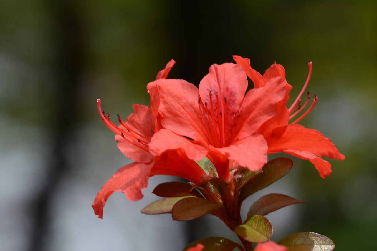 flower, petal, fragility, flower head, beauty in nature, red, nature, growth, freshness, close-up, no people, plant, day, blooming, hibiscus, outdoors, day lily