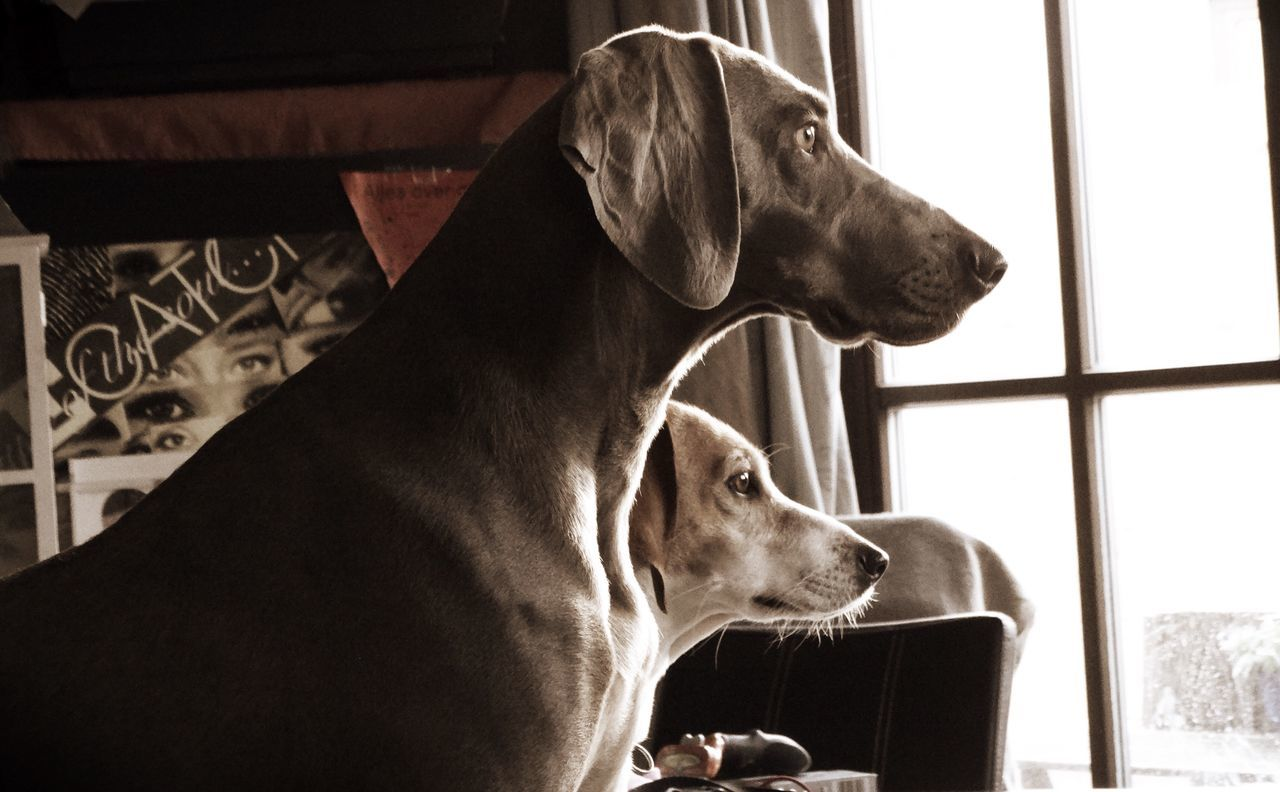 Pets Domestic Animals Dog Animal Themes Mammal One Animal Indoors  Window Home Interior Relaxation Close-up No People Day Lily May Collection Lilymayparker.blogspot.be Dogs Of EyeEm Weimaraner Basset